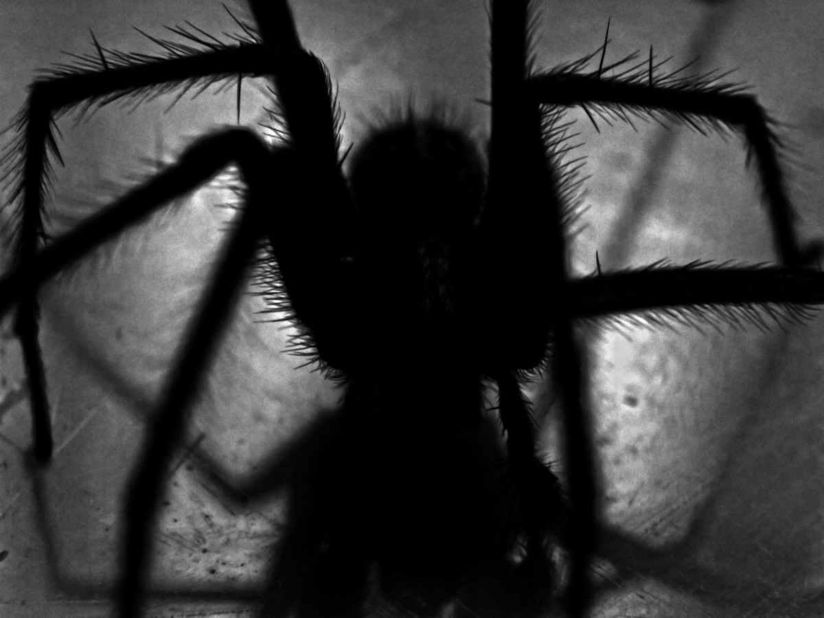he soñado con una araña negra